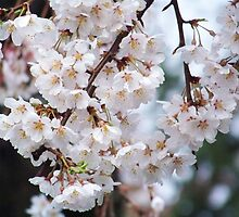 White Tree Blossoms by James Brotherton