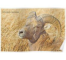 Badlands Bighorn Poster