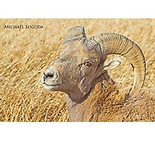 Badlands Bighorn Photographic Print