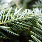 Balsam fir needles by sarahtakespics