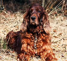 Red setter by Doug McRae