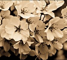 Sepia Cherry Blossoms by jonlarr31