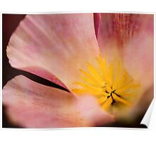 California poppy in pink Poster