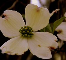 Dogwood Bloom -  3 by ctheworld