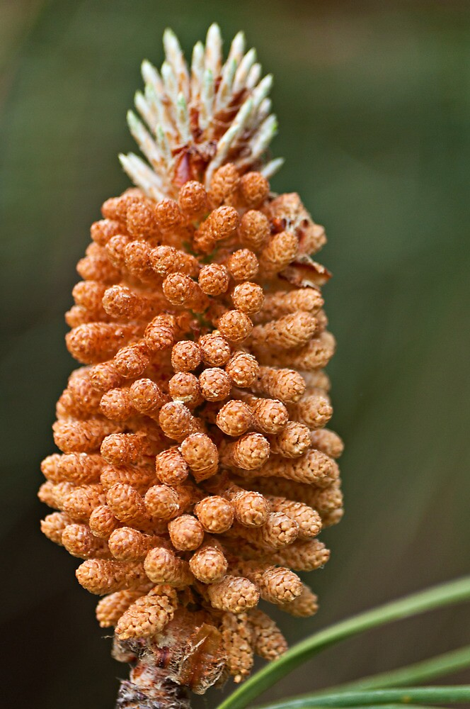 Pine flower by César Torres