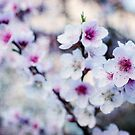 Peach flowers by Laura Melis
