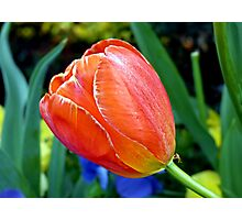 Orange and Red Tulip Photographic Print