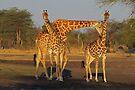Wanna neck baby? by Explorations Africa Dan MacKenzie
