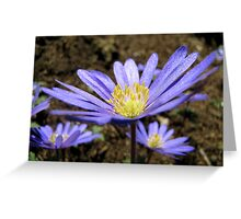 Anemone blanda Greeting Card