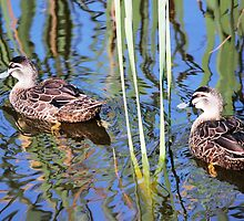 Pacific Black Ducks by alycanon