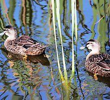 Pacific Black Ducks by alycanon