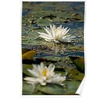 Water lily - Chaffey's Locks, Ontario Poster
