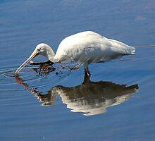 Royal Spoonbill Feeding by alycanon