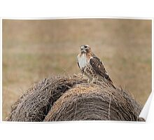 Red-tail on a Bale  Poster