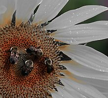 Bee Quartet by cchandler