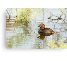 Little grebe (Tachybaptus ruficollis) swimming in a pond.  Canvas Print