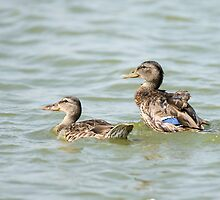 Female Mallard (Anas platyrhynchos) (right) and juvenile swimming in the water.  by PhotoStock-Isra