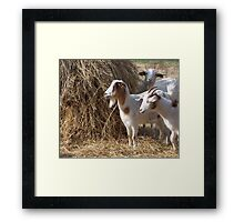 Sterling Road Goats Framed Print