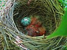 Red-wing Blackbird Babies and Egg by Ron Russell