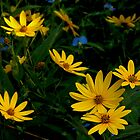 Helianthus and Friends by cchandler
