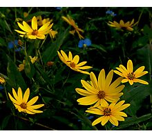 Helianthus and Friends Photographic Print