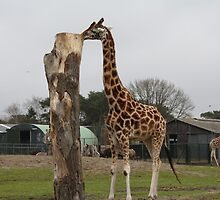 Giraffe. by Angeliique