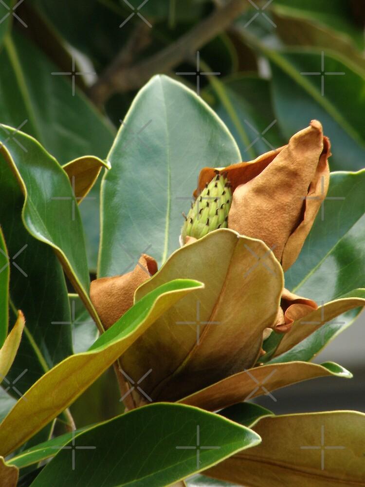 Magnolia grandiflora by CapturedByKylie