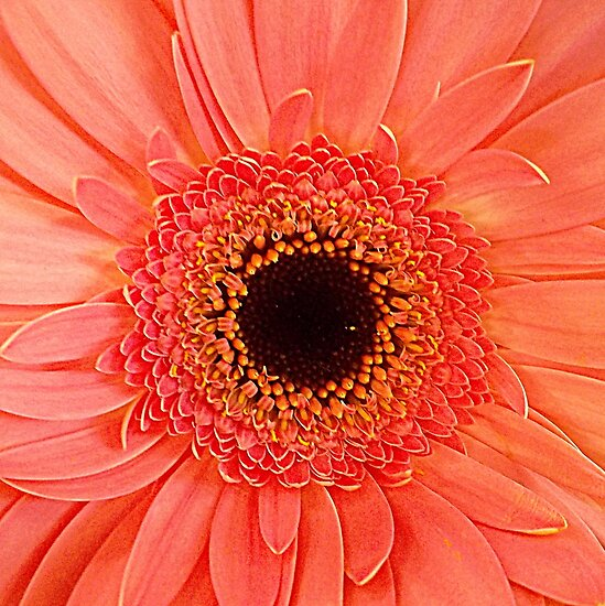 Red Gerbera Closeup by ©The Creative  Minds