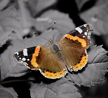 An Old  Red Admiral  by relayer51