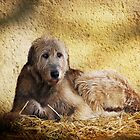 Irish Wolfhound by Carol Bleasdale
