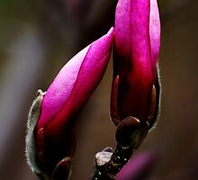 Magnolia Buds by Kathleen Stephens