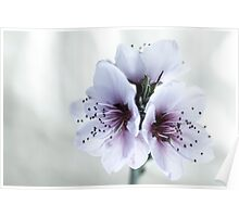 White Almond Flowers Poster