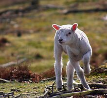 Joy of A Lamb in Spring by Jo Nijenhuis