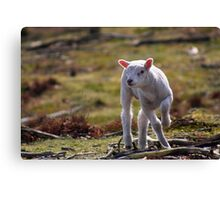 Joy of A Lamb in Spring Canvas Print