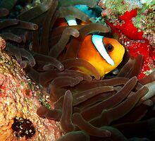 Clownfish in Hiding by SerenaB