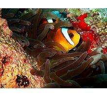 Clownfish in Hiding Photographic Print
