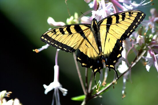 Tiger Swallowtail by freevette
