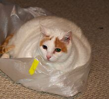 My Cat on a Plastic Bag by imagetj