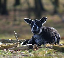 Little Black Sheep by Jo Nijenhuis