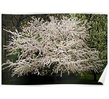 Yoshino Cherry Tree Poster