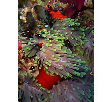 Domino Damselfish in Anemone Photographic Print