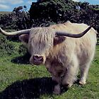 Dartmoor Highland Cow Roaming In The Gorse by richard wolfe