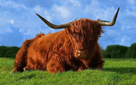 Highland Cow by John Dickson