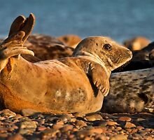 Young Grey seal (Halichoerus grypus) by Gabor Pozsgai