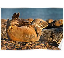 Young Grey seal (Halichoerus grypus) Poster