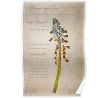 muscari neglectum Poster