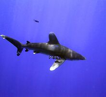 Oceanic Whitetip and Pilot Fish by SerenaB