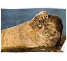 Grey seal (Halichoerus grypus) watching Poster