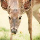 Sweet Deer  by Sylvia Coomes