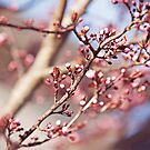 Spring Bloom by Morriki